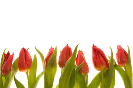 red tulips frame isolated on white background Stock Photo - 2461187