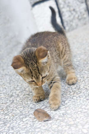 gato jugando: j�venes gato jugando con un ratoncito