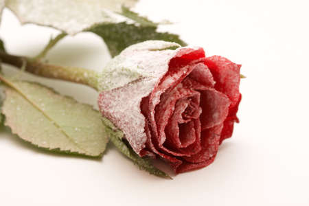 red rose covered with snow, on white photo