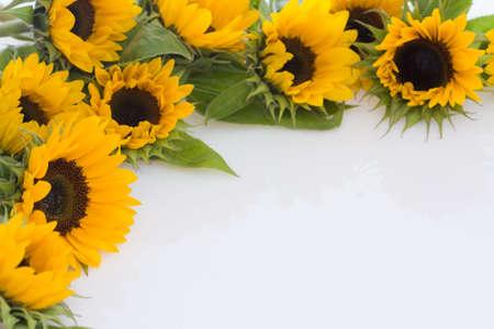 beautiful, fresh yellow sunflowers on white background photo