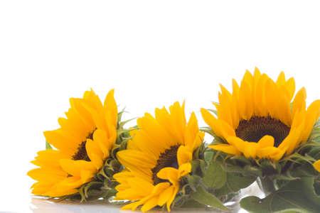 sunflower isolated: beautiful, fresh yellow sunflowers on white background