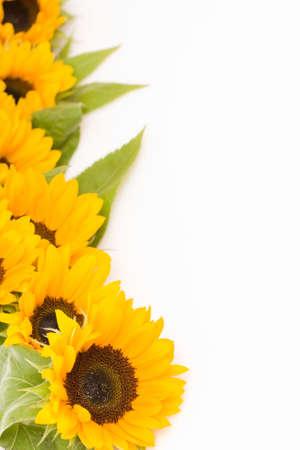 beautiful, fresh yellow sunflowers on white background