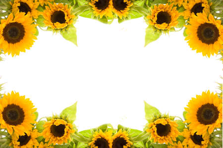 beautiful, fresh yellow sunflowers on white background