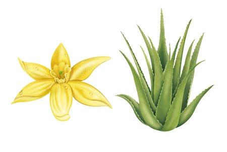 Flor de vainilla e ilustraciones de Aloe Vera