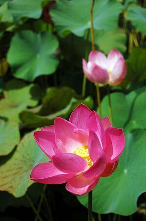 nelumbo: Lotus (Nelumbo nucifera)