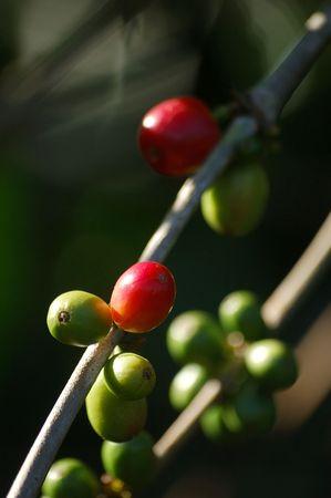 arabica: Toraja Arabica Coffee (Coffea arabica) Stock Photo
