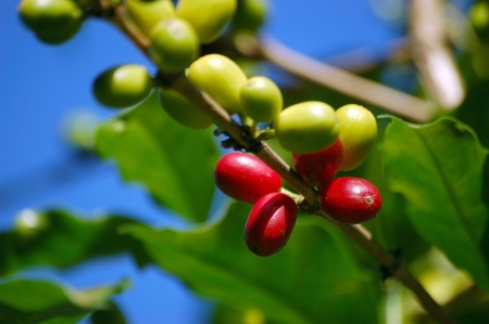 plants species: Toraja Arabica caff� (Coffea arabica)