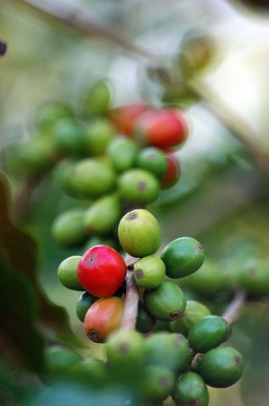 celebes: Toraja Arabica Coffee (Coffea arabica) Stock Photo