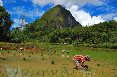 Traditional farmers are planting rice in Toraja, South Sulawesi, Indonesia photo
