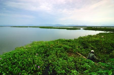 aquatic plant: A man fishing at Lake Limboto, Gorontalo, Indonesia
