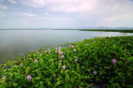 plants species: Comune Giacinto d'Acqua (Eichhornia crassipes) sul lago di Limboto, Gorontalo, Indonesia