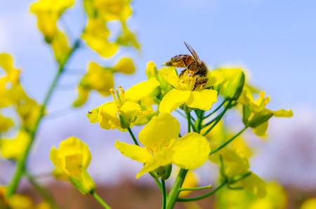 trabajando duro: Las abejas en la violación