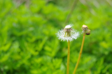 turmoil: Withered dandelion Stock Photo