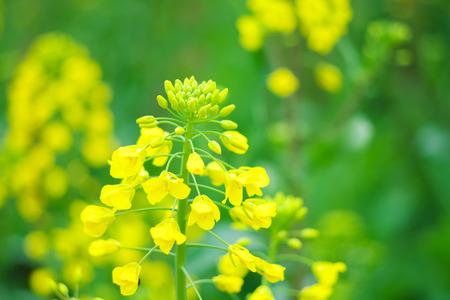 oilseed: Flowering oilseed rape