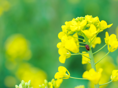 natural backgrounds: Flowering oilseed rape