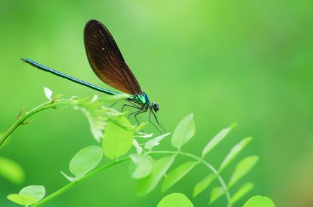 hexapoda: Dragonfly