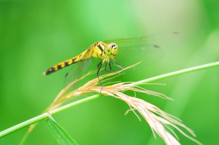 zygoptera: Dragonfly