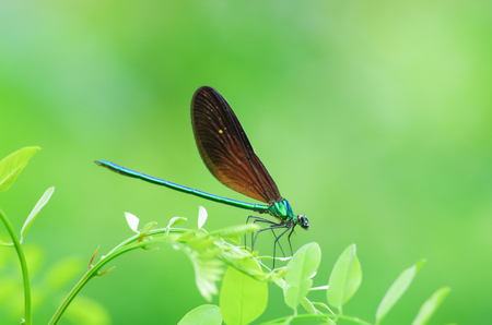 copulation: Dragonfly