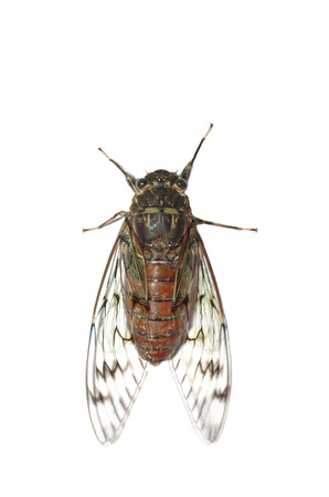 worm infestation: cicada