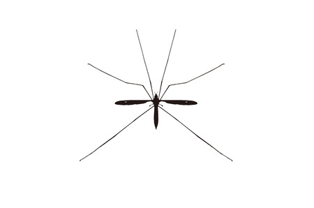 proboscis: The giant mosquito Illustration