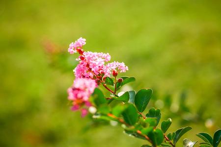 lagerstroemia indica flower