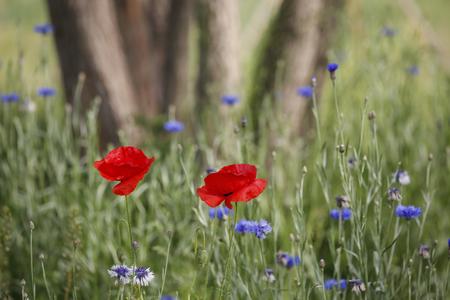Swaying Poppy flowers