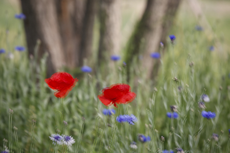 swaying: Swaying Poppy flowers