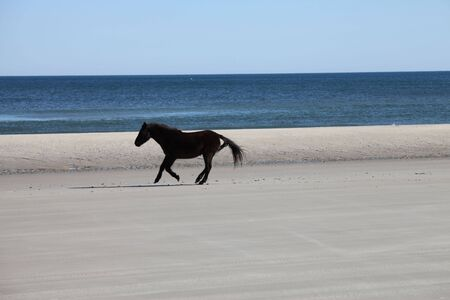 beach animals: wild horse on the beach dunes of Outerbanks North carolina USA Stock Photo