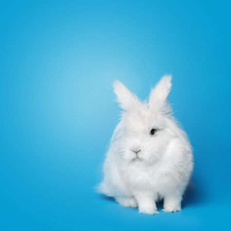 Video of small white rabbit on blue screen