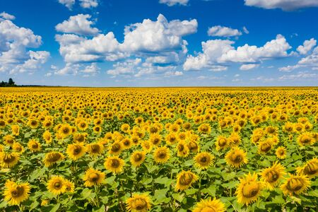 field of blooming sunflowers with blue sky on background