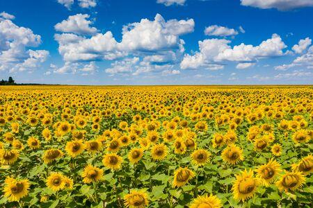 veld van bloeiende zonnebloemen met blauwe lucht op de achtergrond