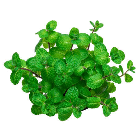 bunch of Fresh mint plant isolated on white background