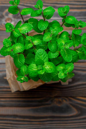 Fresh natural organic mint plant in the pot Standard-Bild