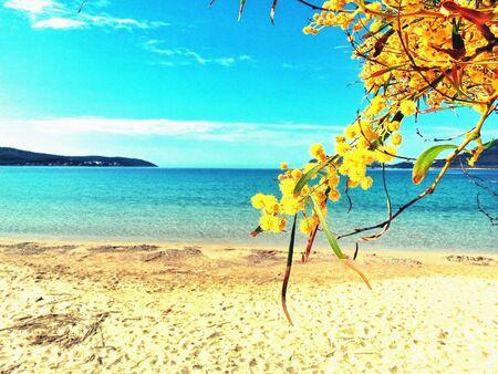 mimose: Mimosas sulla spiaggia a primavera
