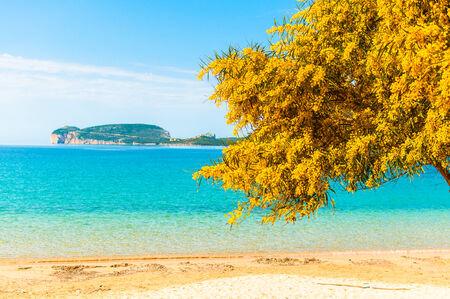 mimose: Paesaggio di una spiaggia in primavera con mimose in primo piano Archivio Fotografico