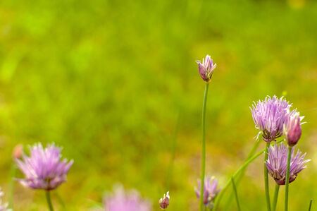 small purple flower: detail of small purple flower meadow with blurred background Stock Photo