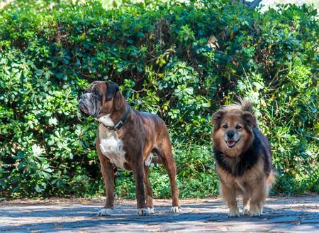 mongrel: German boxer dog and mongrel dog in a garden Stock Photo