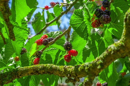 tahitian: Multicolor mullberries on the tree in summer Stock Photo
