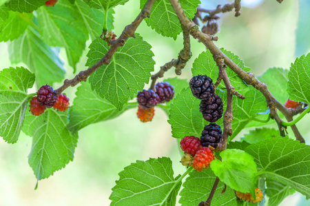 Multicolor mullberries on the tree in summer Stock Photo