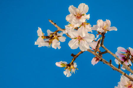 Closeup of isolated white almond flowers on colored background Banque d'images