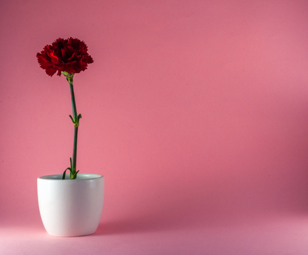 Isolated red carnation on colored background in white flowerpot with copy space Stock Photo
