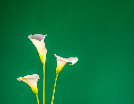 Closeup of three white calla lillies on green background Stock Photo