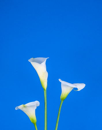 Closeup of three white calla lillies on blue background