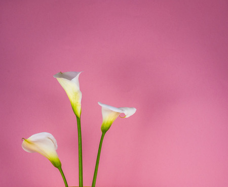 Closeup of three white calla lillies on pink background