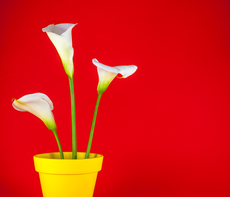 Closeup of three white calla lillies in yellow flower pot on red background