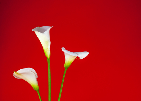 Closeup of three white calla lillies on red background Stock Photo