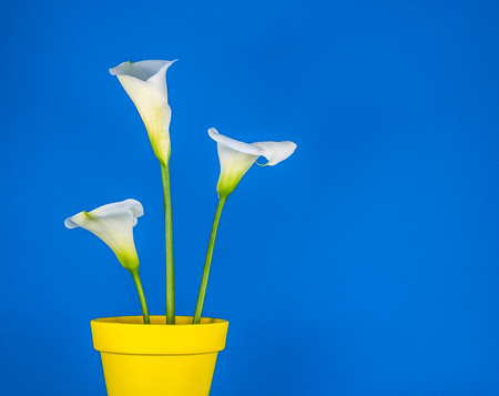 Closeup of three white calla lillies in yellow flower pot on blue background