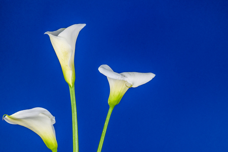 Closeup of three white calla lillies on dark blue background