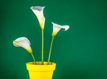 Closeup of three white calla lillies in yellow flower pot on green background