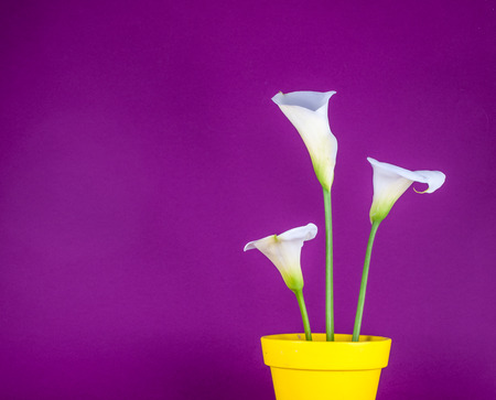 Closeup of three white calla lillies in yellow flower pot on purple background